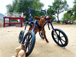 Curly Calf Syndrome Wheelchair