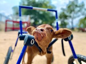 Curly Calf Syndrome Calf with wheelchair