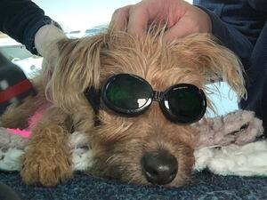 Laser Therapy Googles on Small Dog
