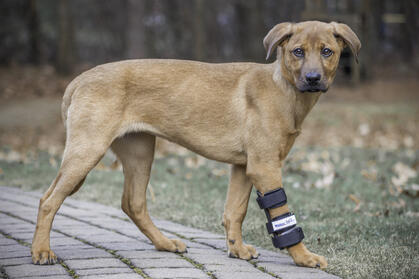 Brown dog wearing carpal splint- Wren