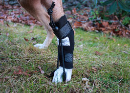 Close up of dog wearing Rear No Knuckle Training Sock