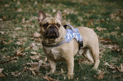 Frenchie wearing Warrior Harness