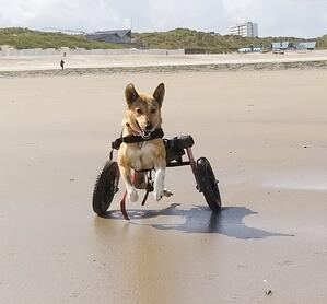 Dog in pink wheelchair running on the beach