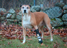 Brown dog with front leg injury wearing a splint