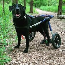 Dog wheelchair for knee injury