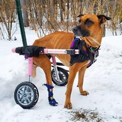 Dog boots for paralyzed pets in winter