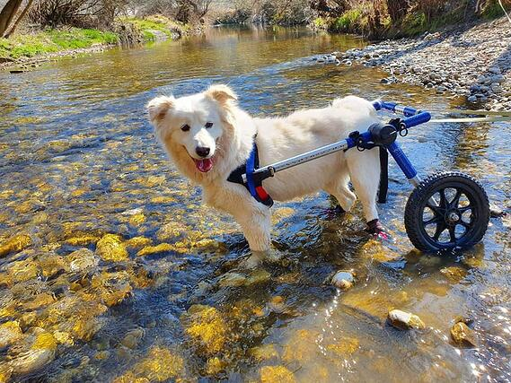 Edi White dog wading in the river using a dog cart