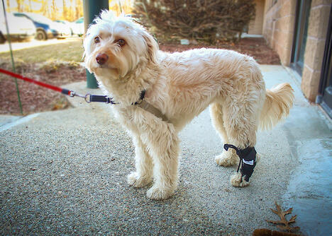 White dog wearing Rear No Knuckle Training Sock
