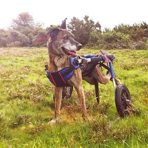 Peppa Wearing Front Combo Harness with Rear Dog Wheelchair