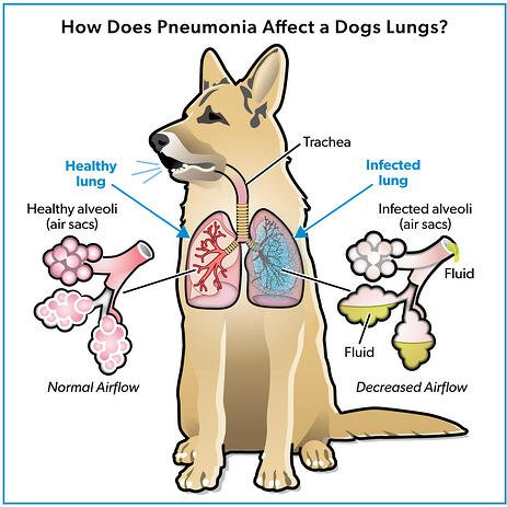 Pneumonia in a Dogs Lungs Infographic