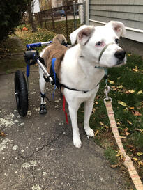 Dog with DM uses dog mobility aids