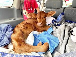 Calf with Curly Calf Syndrome Rescued
