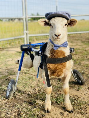 Lamb in a wheelchair wearing  bowtie and pageboy hat