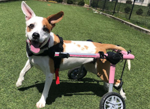 Wheelchair helps dog with moibility loss