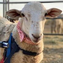 Lamb in a bowtie and a wheelchair
