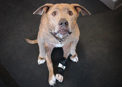 Grey Lab wearing Front No Knuckle Training Sock