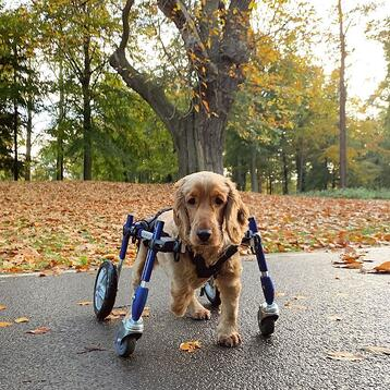 cocker spaniel in full support wheelchair