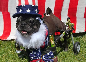 Wheelchair dog dressed for the fourth