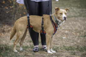 Dog using full body support lifting harness