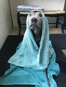 Silver handicapped dog wrapped in a towel