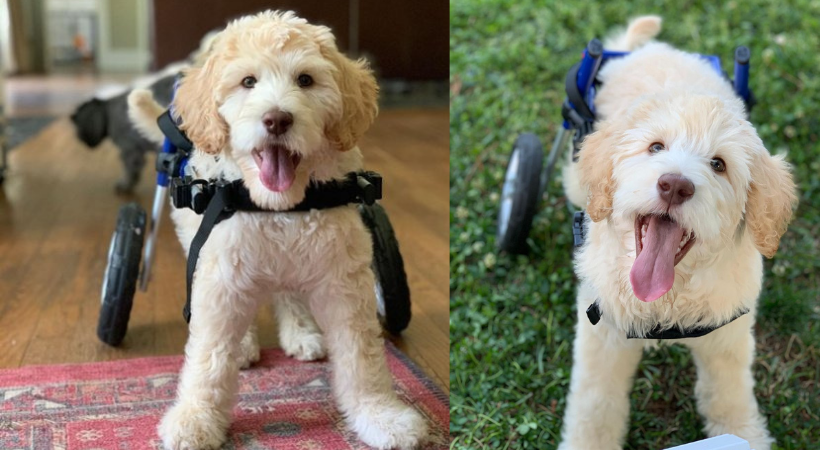 Goldendoodle Puppy With Spinal Deformity Gets a Wheelchair