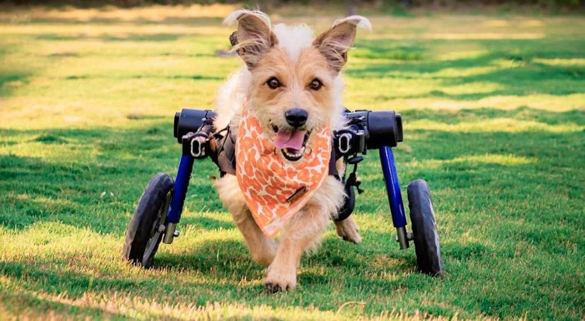 Your Dog Wheelchair Questions Answered