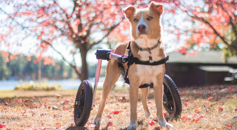 5 Signs Your Dog Has An Injured ACL
