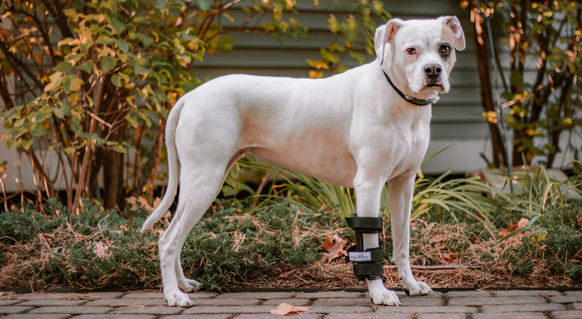 Carpal Hyperextension in Dogs
