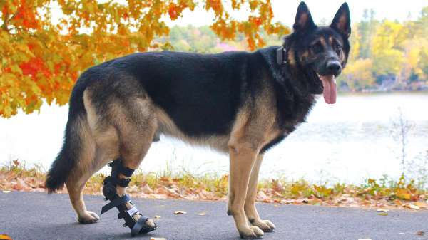 Polyarthritis in Dogs: What is It?