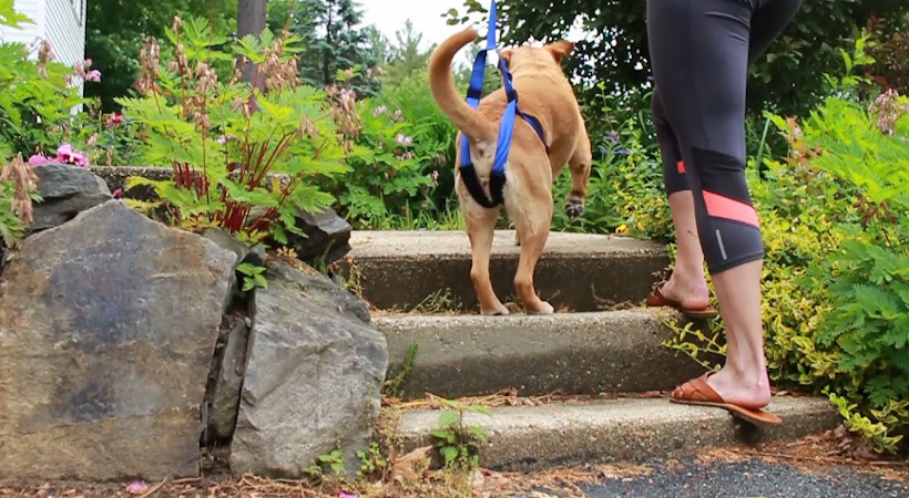 How to Help an Old Dog Up the Stairs